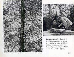 battle-of-the-budworm_1953-20
